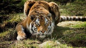 Сибірський тигр - відмінний мисливець