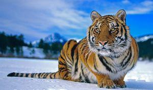 Сибірський тигр взимку
