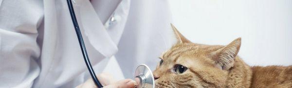 Analýza moču u mačky: normálne ukazovatele, interpretácia výsledkov
