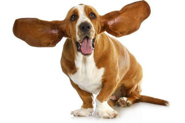 Собака з великими вухами