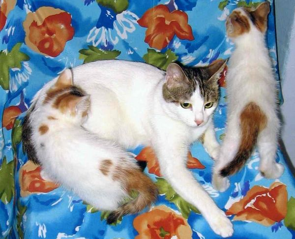 анатолійська кішка з кошеням