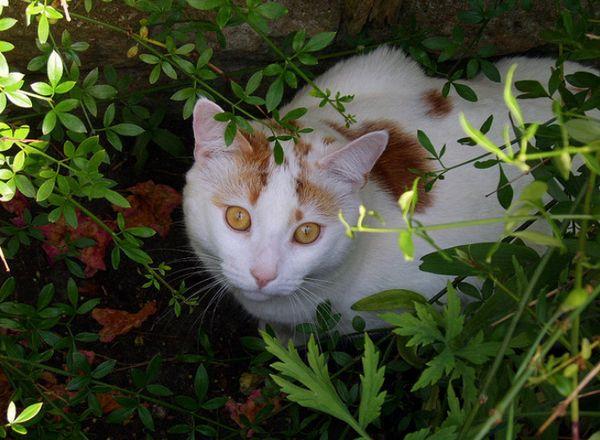 турецька короткошерста кішка фото