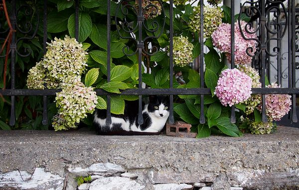 анатолійська короткошерста кішка
