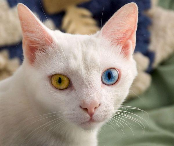 анатолійська кішка фото