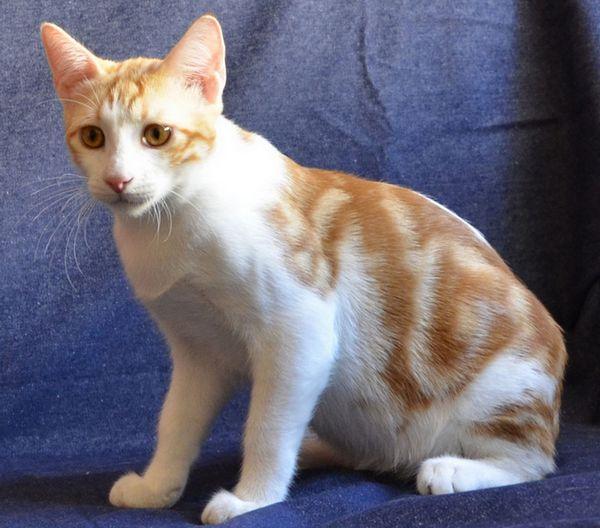 анатолійська кішка