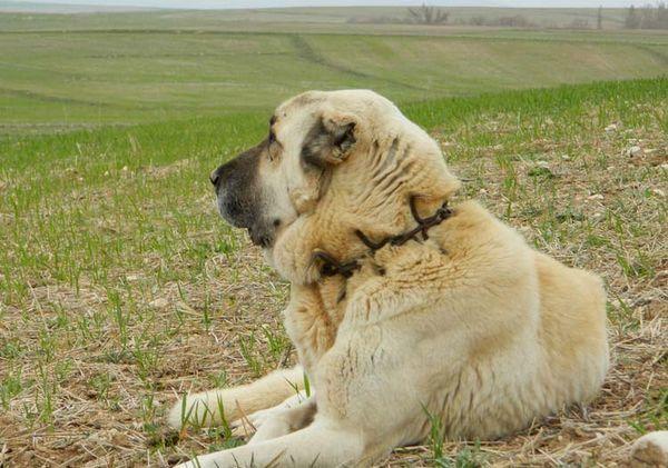 Анатолийская вівчарка пастух