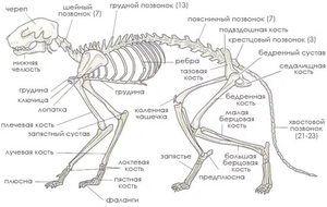 анатомія кішок