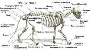 Анатомічні особливості кішки
