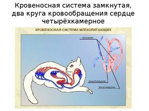 Анатомія і особливості будови скелета кішки