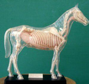 Анатомія коні: особливості скелета