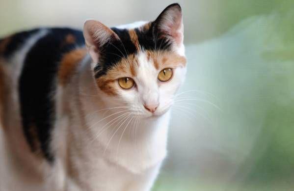 Anémia u mačiek: príčiny, príznaky a prevencia