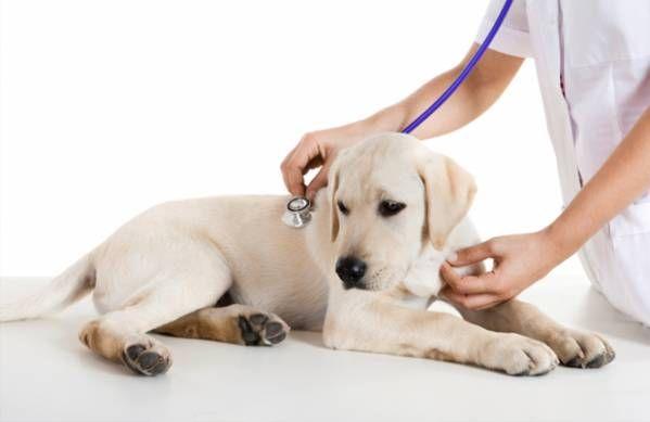 Anémia u psov: príčiny, príznaky a prevencia
