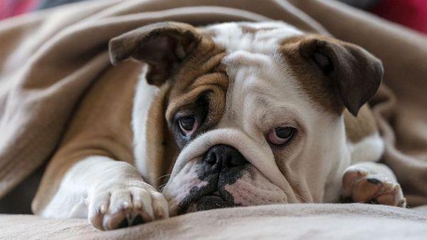 Anémia u psov: príznaky a liečba