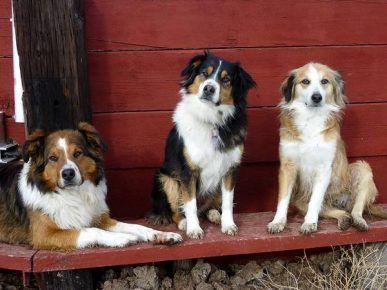 Три англійські вівчарки (руда, триколірна і світло-руда)