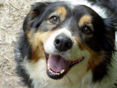 Мордочка англійської собаки, яка дивиться в камеру
