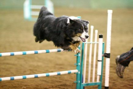 Англійська вівчарка стрибає через бар`єр