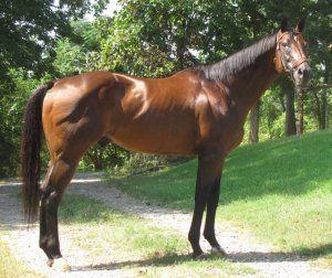 Anglický dostihový kôň: vlastnosti, údržba a starostlivosť