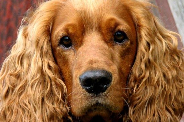Anglické plemená psov - najväčšia skupina uznávaných plemien (+ foto)