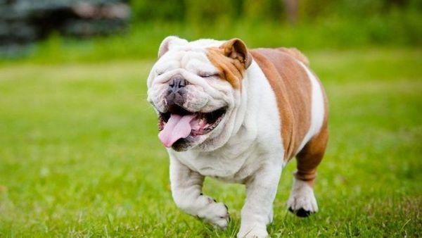 Англійська бульдог - собака статечна і кілька загальмована. Їй потрібно кілька секунд, щоб збагнути що-небудь. Тому не дивуйтеся, якщо собака не відразу реагує на ваше запрошення