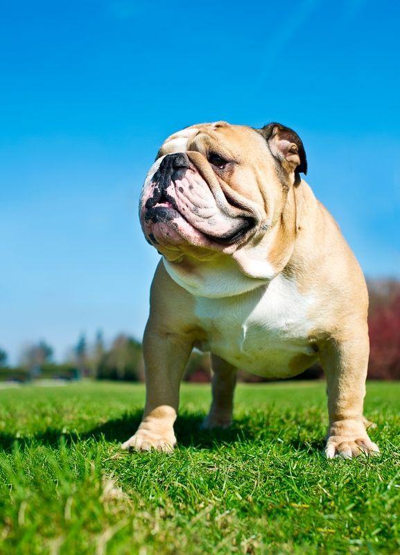 Англійська бульдог - собака зі спокійним і флегматичним характером, а численні складки на морді створюють враження задумі