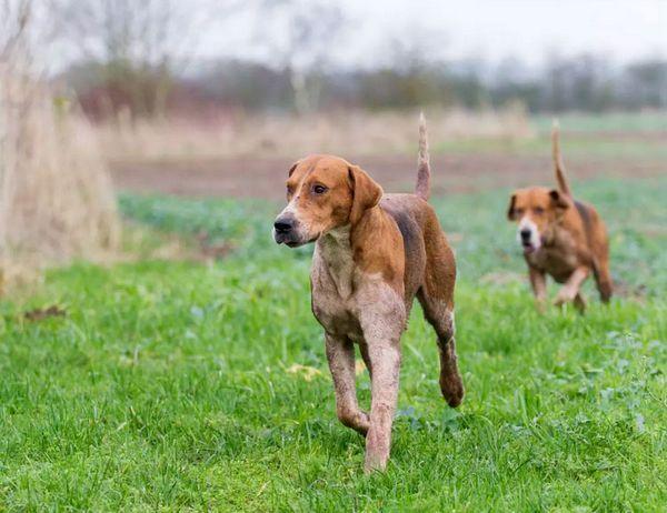 собаки породи англійський фоксхаунд