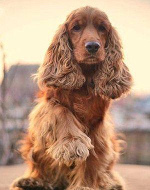 Anglický kokeršpaniel: aktívny pes s veselou dispozíciou a povahou lovca