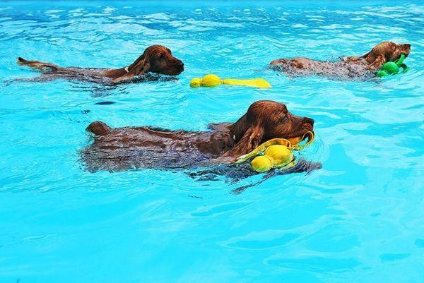 Плаває кокер-спанієль дуже красиво і тихо, здається, що собака зовсім не докладає зусиль