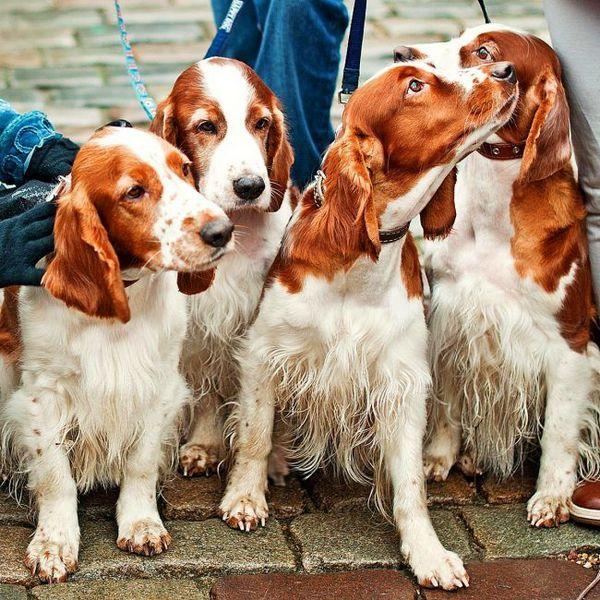 Англійська кокер-спанієль - це спортивна собака з невгамовною енергією, яка постійно призводить її в рух