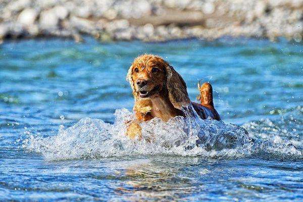 Любов до такого виду фізичних навантажень, як плавання, у кокер-спанієлів в крові