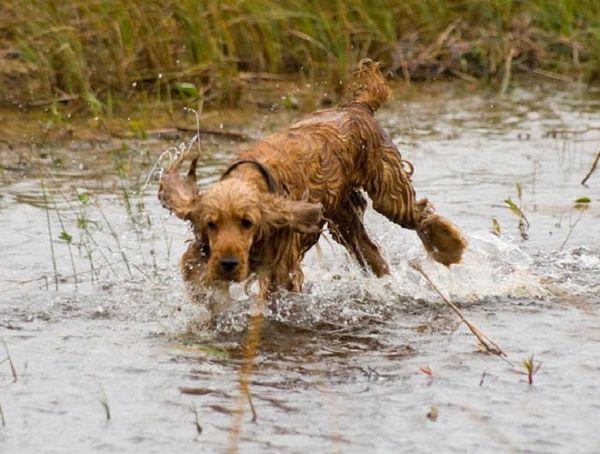 Англійська кокер спаніель біжить по воді
