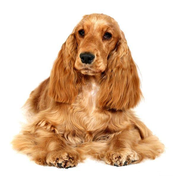 Собака породи англійський кокер-спанієль