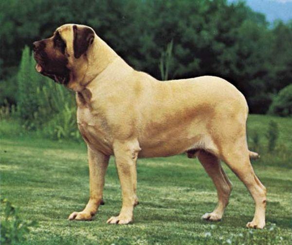 раціон собак породи Англійський Мастиф