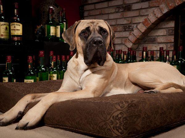 утримання собак породи Англійський Мастиф