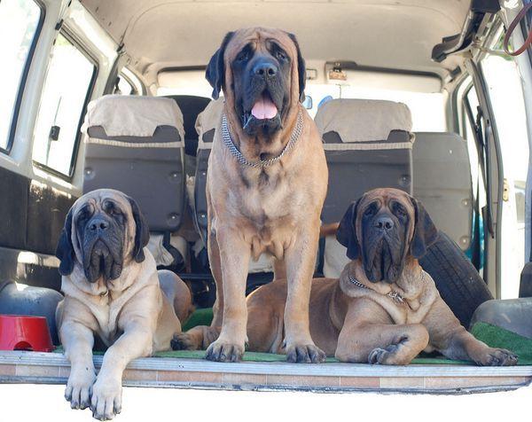 здоров`я собак породи Англійський Мастиф