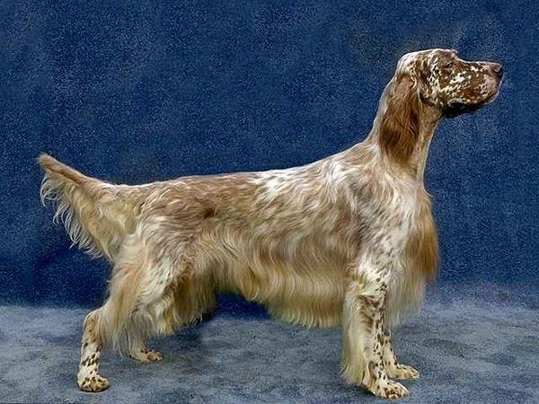 Собака породи Англійський сетер