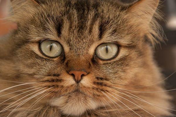 Пухнастий кіт