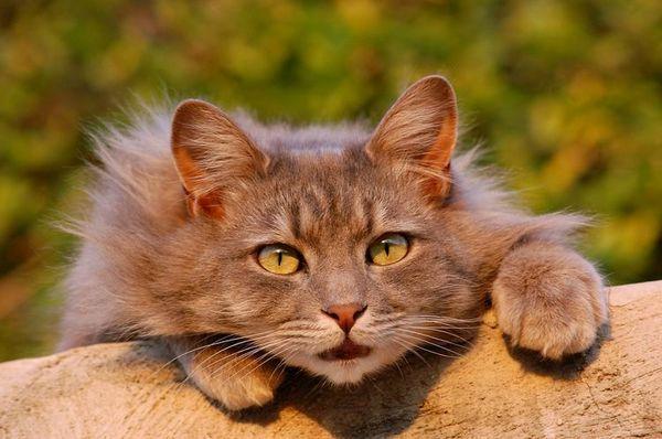 Пухнастий кіт із зеленими очима