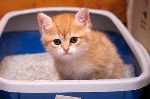 Кошеня в лотку