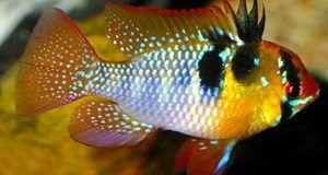 Різнобарвна рибка Апистограмма Рамірез