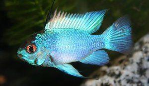 Акваріумна рибка Електрик блю