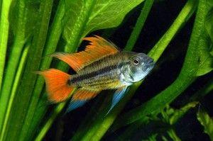 акваріумна рибка