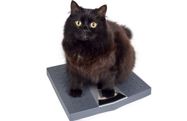 Кот на вагах
