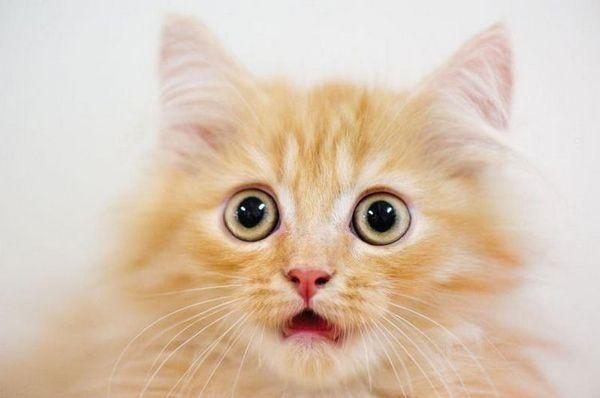 здивований кіт