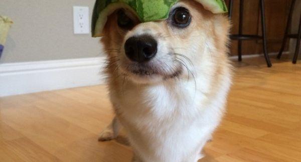 Vodný melón ako pochúťka pre psov: prospech alebo ublíženie