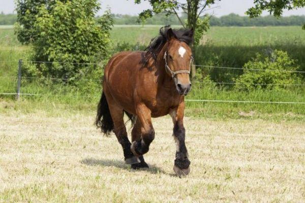 Кінь Арденські породи