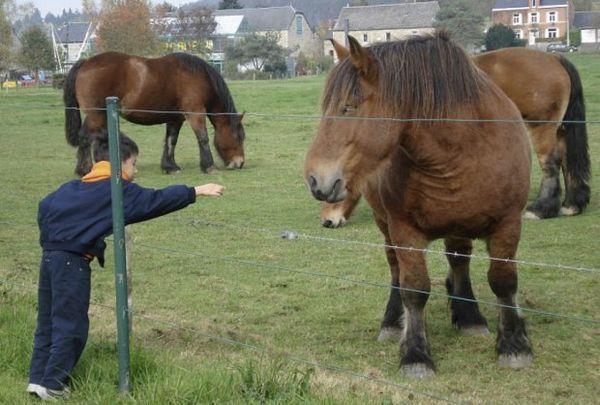 кінь Арденські