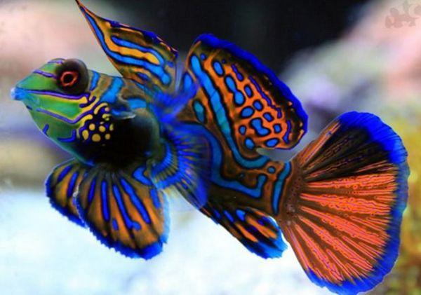 рибки мандаринки