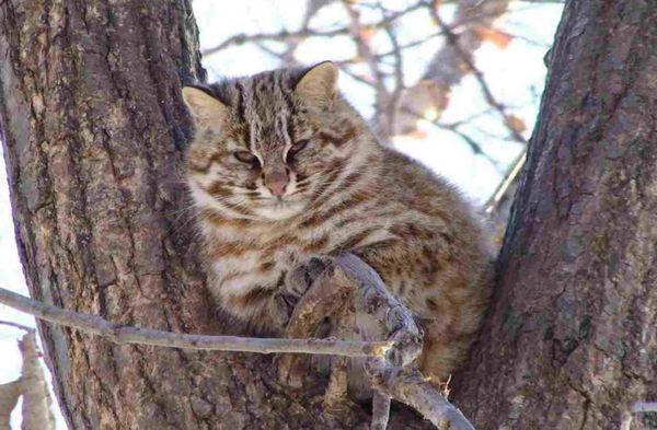далекосхідний лісовий кіт