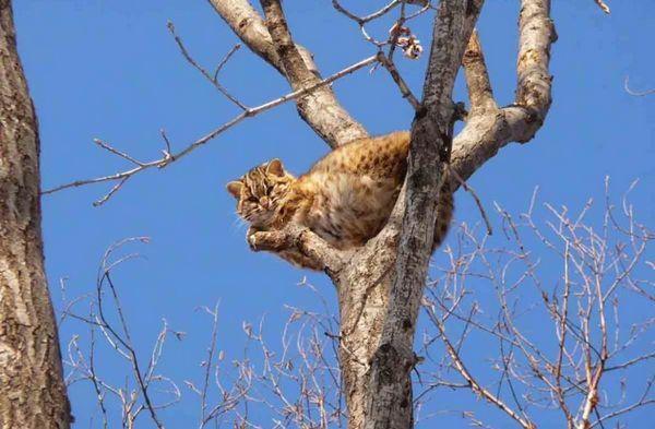 спосіб життя дикого кота