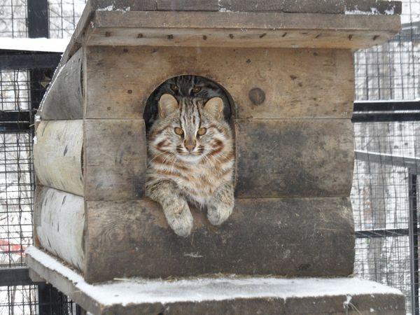 Живучи в зоопарку далекосхідний кіт все одно залишиться диким
